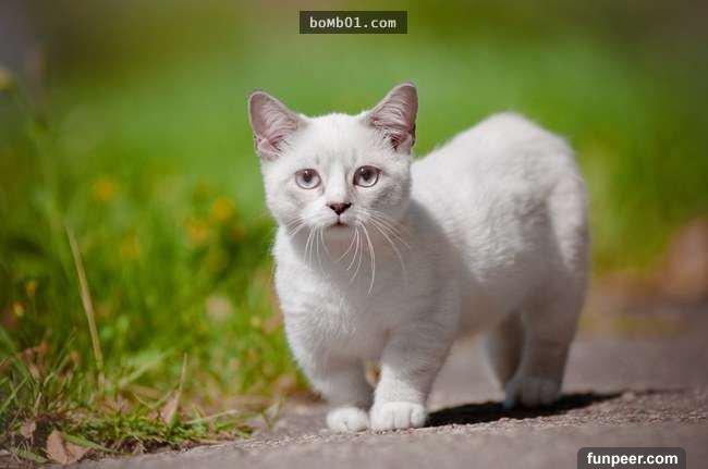 普通的猫咪已经很可爱了,短腿