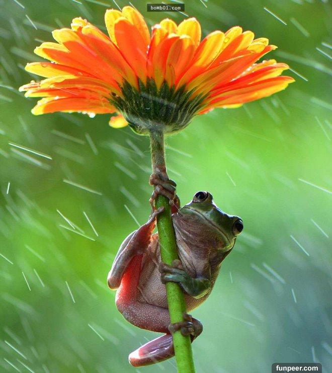 俗话说:天有不测风云。当大雨说下就下时,毫无防备的我们往往都会淋成落汤鸡。而对於一些动物来说,牠们却有一套办法能够让自己不至於四处逃窜,惊慌失措-即使是路边的一片叶,一朵花,或是一颗蘑菇都能成为牠们避雨的好去处。想像一下这样的画面,是不是格外的生动有趣呢? 大多数的大型动物(例如棕熊)会在下雨时分躲在树下、岩石下或是悬崖下,而等雨停了牠们就会抖动身上的毛发,将雨水抖落下来。而猩猩、猴子等其他动物则懂得像我们人类使用雨伞一样,用芭蕉叶或是其他大型树叶来遮挡风雨。但有些生活在水中两栖动物,像是鱼类和蛙类等则常